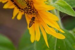 Abeja en los girasoles o el helianthus annuus Foto de archivo