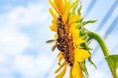 Abeja en los girasoles o el helianthus annuus Fotografía de archivo