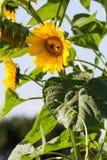 Abeja en los girasoles orgánicos con luz del día natural Fotos de archivo