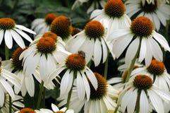 Abeja en los jefes de flor de los coneflowers blancos Imagen de archivo libre de regalías