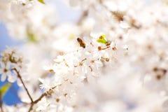 Abeja en los manojos de flor de cerezo Foto de archivo