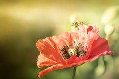 Abeja en los rayos de las amapolas del sol Fotos de archivo libres de regalías