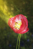 Abeja en los rayos de las amapolas del sol Foto de archivo libre de regalías