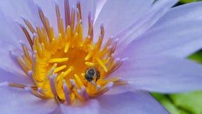 Abeja en loto Imagen de archivo libre de regalías