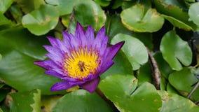 Abeja en loto Foto de archivo libre de regalías