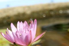 Abeja en loto en el rosa del ` s del jardín y del loto Foto de archivo libre de regalías