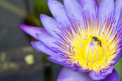 Abeja en loto en la púrpura del ` s del jardín y del loto Foto de archivo libre de regalías