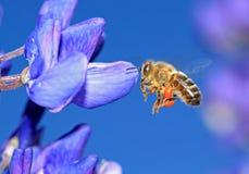 Abeja en lupine azul Fotografía de archivo libre de regalías