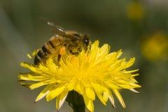 Abeja en macro amarilla de la flor Foto de archivo