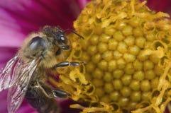 Abeja en macro amarilla del sello de las flores Imagenes de archivo