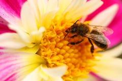 Abeja en macro de la flor Fotografía de archivo