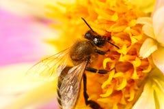Abeja en macro de la flor Imagen de archivo libre de regalías