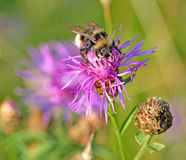 Abeja en macro de la flor Foto de archivo libre de regalías