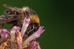 Abeja en macro del primer de la flor del trébol Foto de archivo libre de regalías
