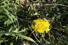 Abeja en mala hierba Fotografía de archivo
