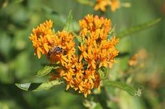 Abeja en mala hierba de mariposa anaranjada Imagen de archivo libre de regalías