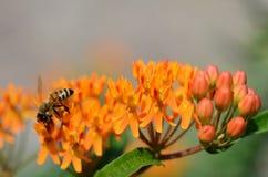 Abeja en mala hierba de mariposa anaranjada colorida Imagen de archivo libre de regalías