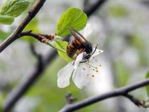 Abeja en manzana floreciente de la primavera Foto de archivo
