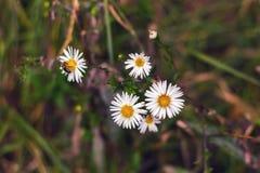 Abeja en manzanilla en el otoño Fotografía de archivo libre de regalías