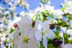 Abeja en manzano de las flores blancas Imagen de archivo