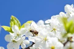 Abeja en manzano floreciente Fotos de archivo