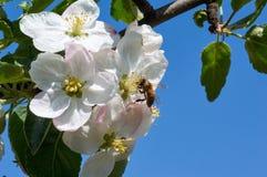 Abeja en manzano floreciente Abeja de trabajo Fotografía de archivo