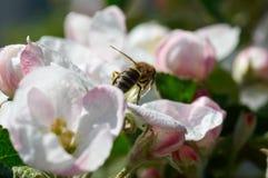 Abeja en manzano floreciente Abeja de trabajo Imagen de archivo libre de regalías