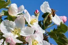 Abeja en manzano floreciente Abeja de trabajo Fotos de archivo libres de regalías