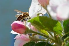Abeja en manzano floreciente Abeja de trabajo Fotos de archivo