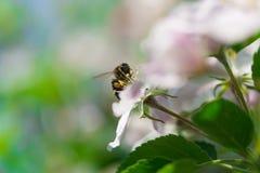 Abeja en manzanos de la flor Imagen de archivo libre de regalías