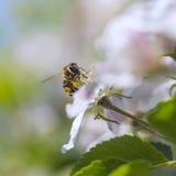 Abeja en manzanos de la flor Foto de archivo libre de regalías