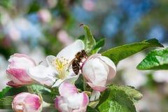 Abeja en manzanos de la flor Fotografía de archivo