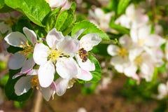 Abeja en manzanos de la flor Fotos de archivo libres de regalías