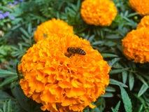 Abeja en maravilla anaranjada Imagen de archivo