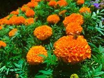 Abeja en maravilla anaranjada Fotografía de archivo libre de regalías
