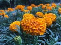 Abeja en maravilla anaranjada Foto de archivo