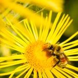 Abeja en margarita amarilla Fotografía de archivo libre de regalías