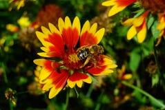Abeja en margarita amarilla roja del Gerbera Fotografía de archivo