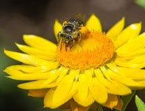 Abeja en margarita seca o strawflower que recoge el polen Imagen de archivo libre de regalías