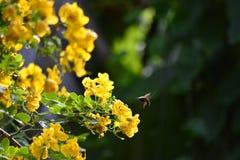 Abeja en mediados de vuelo hacia la flor del senne Foto de archivo libre de regalías