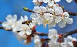 Abeja en mosca Imagen de archivo libre de regalías