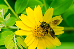Abeja en naturaleza verde Imagenes de archivo