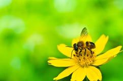 Abeja en naturaleza verde Fotografía de archivo libre de regalías