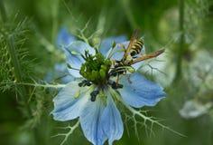 Abeja en nigella de la flor Fotos de archivo