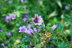 Abeja en púrpura Fotos de archivo