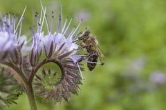 Abeja en phacelia del rosa de la flor Recogida del polen y del néctar de la bebida Foto de archivo