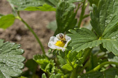 Abeja en plantas de fresa Foto de archivo