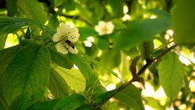 Abeja en Plum Flowers y fondo hermoso almacen de video