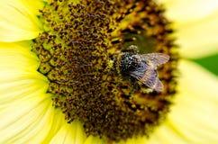 Abeja en polen Fotografía de archivo