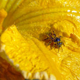 Abeja en polen Fotografía de archivo libre de regalías